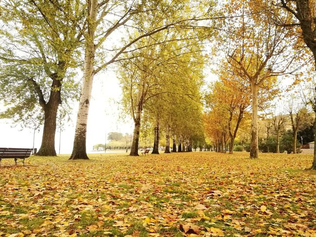 Tree Nature Autumn Growth Beauty In Nature Field Leaf Change Day Tranquility Outdoors Tranquil Scene Scenics Yellow Park - Man Made Space Agriculture Landscape No People Flower Grass Falling Leaves Autumn Colors Silence Of Nature Silence