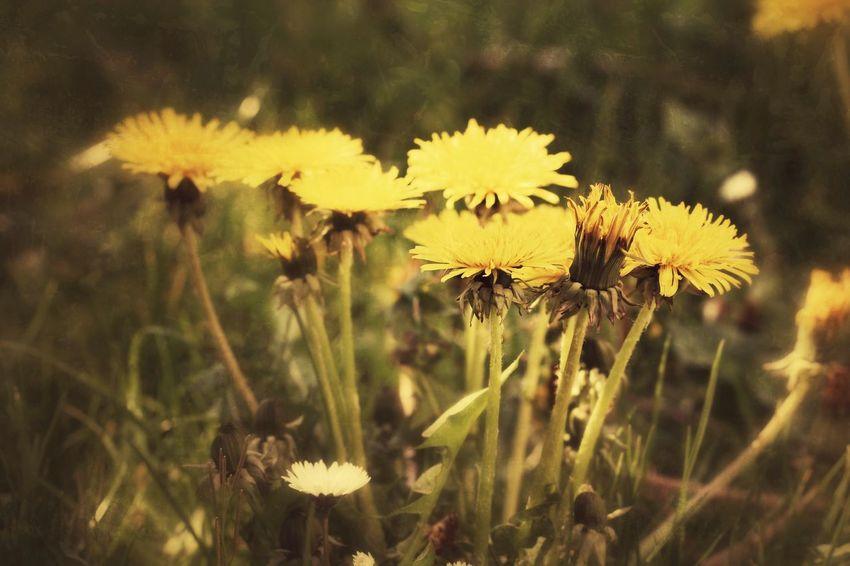 """🌻🌱Wünsche🌱🌻 Wünsche können so vielfältig und bunt sein wie das Leben. Sie können einladen, dem Glück zu begegnen oder ganz neu anzufangen. Sie können ermuntern, dankbar zurückzublicken oder die Zukunft zu gestalten. Gute Wünsche haben in liebevoller Weise die Wunder des Lebens im Blick, die sich täglich neu ereignen können. Gute Wünsche erinnern an zarte Knospen in jedem von uns, die eines Tages herrlich erblühen wollen. (Rainer Haak) Für schlechte Zeiten habe ich meine Lieblingsmotive """"konserviert"""". Zu gerne erinnere ich mich an die warmen Monate im """"Hawischer Garten"""" und wünsche mir so sehr, schon bald auf die Nachfahren meiner geliebten """"Löwenzähne"""" zu treffen!🌻 Beauty In Nature Beauty In Nature Beauty In Ordinary Things Dandelion Dandelion Collection Dandelions Edited My Way Every Flower Is A Soul EyeEm Best Edits EyeEm Gallery EyeEm Nature Lover Flowers For My Friends Flowers In My Garden For My Friends 😍😘🎁 Fragility Freshness My Garden Is A Wonderland Poetry In Pictures Untamed Heart Weeds Are Beautiful Too Wildflower Yellow Flowers"""