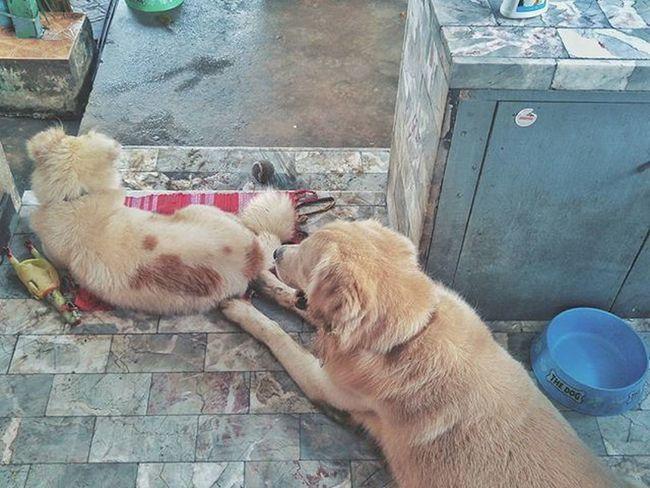พี่ชีโรววว ขอหนูนอนบนพรมบ้างดิ 😰 *ผ้านั่นให้ไว้เช็ดเท้า *แบ่งวรรณะชัดเจน *มาทีหลังนอนพื้นเย็นๆไป Dog Pet Pet13 Goldenretriever Instadog