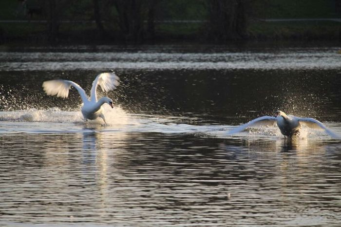 The chase is on. Bird Spread Wings Water Flying Lake Motion Flapping Beauty In Nature Swan United Kingdom