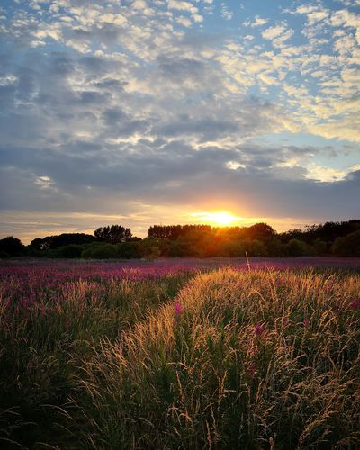 Sunset Sunlight Sun Wallpaper Nature Farm Crop  Wheat Summer Nowhere Woods Walking Flower Head Flower Tree Multi Colored Rural Scene Sunset Beauty Flowerbed Topography Agriculture Lavender Plant Life Lavender Colored Flowering Plant Lilac