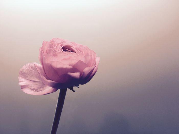 Close-up of pink peony