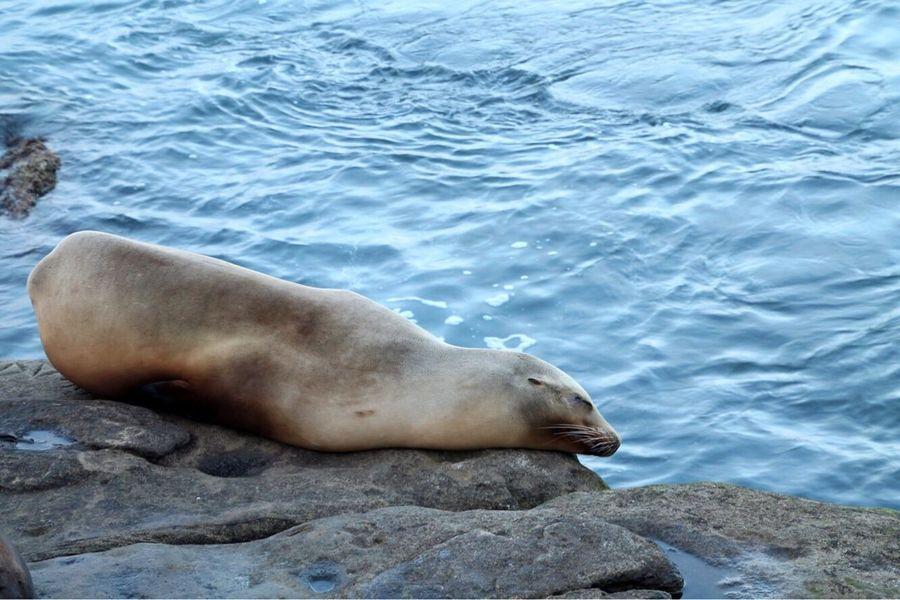 Animal Themes Animals In The Wild Aquatic Mammal Animal Wildlife Water Nature Mammal No People Sea Sea Lion Seal - Animal Seal One Animal Day Outdoors Sea Life