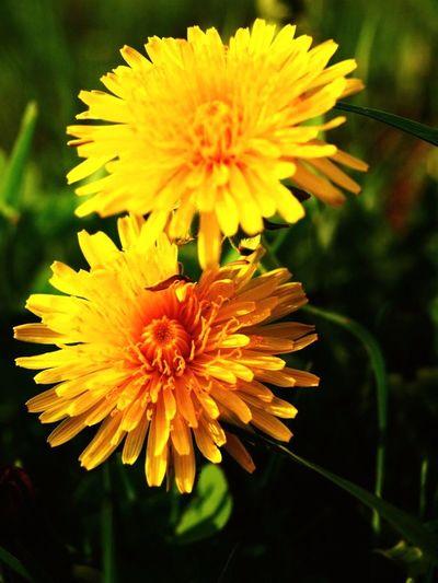 今日も明るく元気にマイペース٩(๑❛ᴗ❛๑)۶ 花 Flower お散歩 お散歩写真 Dandelion OLYMPUS E620