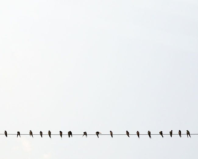 Empty Space LINE Animal Themes Bird Cable Electrical Line Flock Of Birds Interval Large Group Of Animals No People Order Outdoors Perching Swallows Togetherness