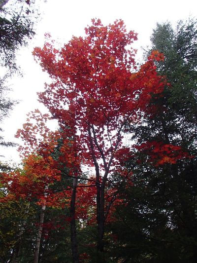 Couleurs d'automne - Fall Foliage Foliage Fall Colors Tree Plant Growth Nature Low Angle View No People Beauty In Nature Forest Red Tree Canopy