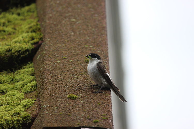 Animal Themes Animal Animal Wildlife Animals In The Wild Bird Vertebrate One Animal Perching Day No People Outdoors Focus On Foreground Close-up Sparrow Nature Full Length Selective Focus Wall - Building Feature Architecture Plant Small