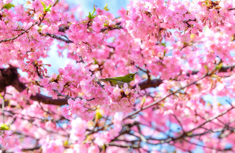 Flowering Plant Flower Plant Pink Color Tree Blossom Branch Growth Freshness Beauty In Nature Springtime Vulnerability  Nature Cherry Blossom Low Angle View Day Cherry Tree Close-up Flower Head Spring Bunch Of Flowers Lilac Japan Sakura Bird