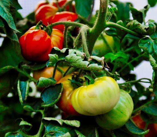 Macro Photography Macro_collection Nature_collection Color Photography Tomaten Pflanzen Tomatoes