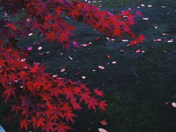 赤と呼ぶには深い。 Leaf Leaves No Standard World Nature Beauty In Nature Nature Deep Japan 温泉入って地元の高校生バンドとOasis の Don't look back in anger を唄った日。