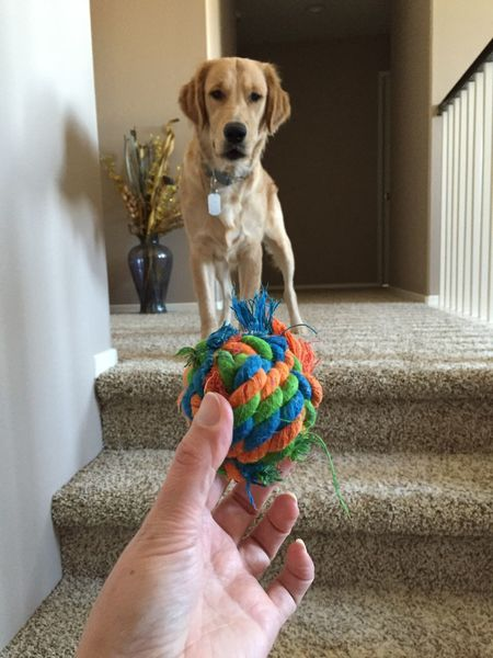 Ball Playtime Hand Dogtoy Rope Knot Pet Dog Dogs Golden Retriever EyeEm Selects Canine Dog Pets One Animal Hand Human Hand Domestic Animals