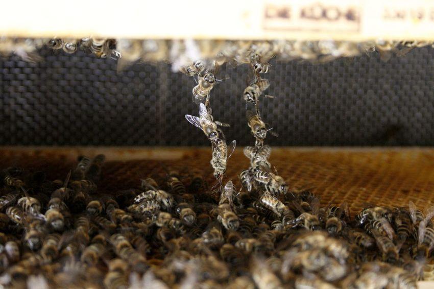 Bees Bienen Bei Der Arbeit Bienenstock Honey Bees  HoneyBee Honigbiene Working Hard Bienenwabe Honey Bee