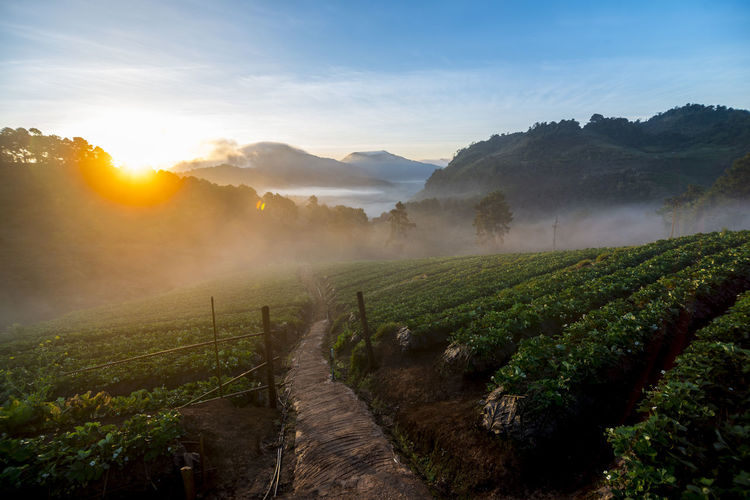 Sun rise morning with fog floating on the mountain and sky is a beautiful view the strawberry field is Ang Khang Chiang Mai in Thailand. ASIA Cloud Field Growth Morning Nature Plant Thailand Travel View Backgrounds Environment Farm Fog Fruit Garden Growth Landscape Mist Mountain Plant Relax Scenics - Nature Strawberry Sunrise The Traveler - 2018 EyeEm Awards