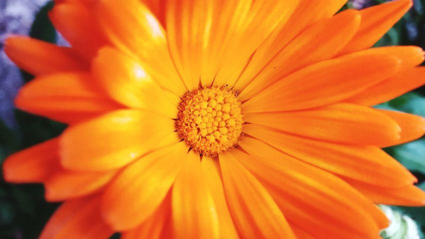 Orange Color Flower Nature Petal EyeEm Nature Is Art Season  Maximum Closeness Eyem Best Shots