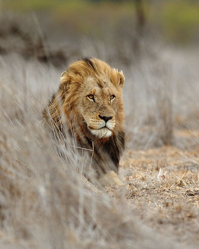 Lion on field in forest