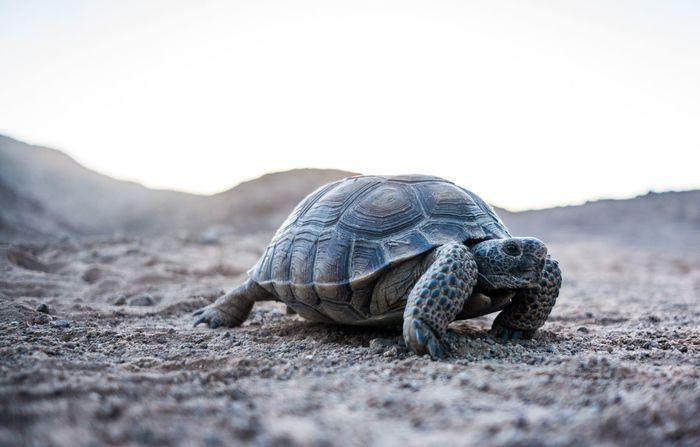 Desert Tortoise Animal Themes Crawling Desert Tortoise Focus On Foreground MojaveDesert Outdoors Surface Level Wildlife