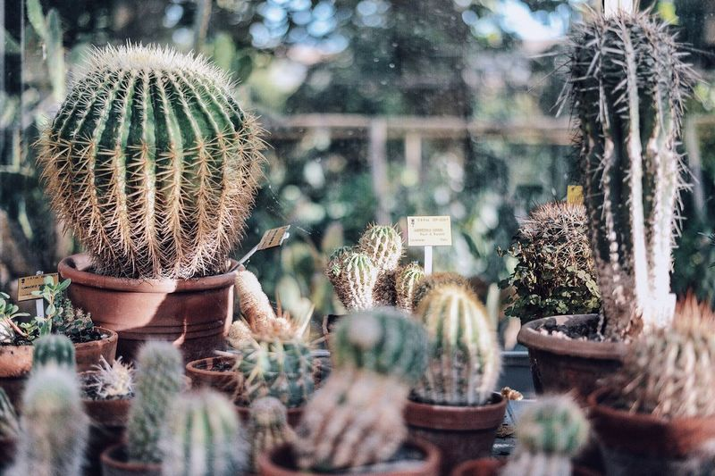 Cactus Potted Plants In Greenhouse