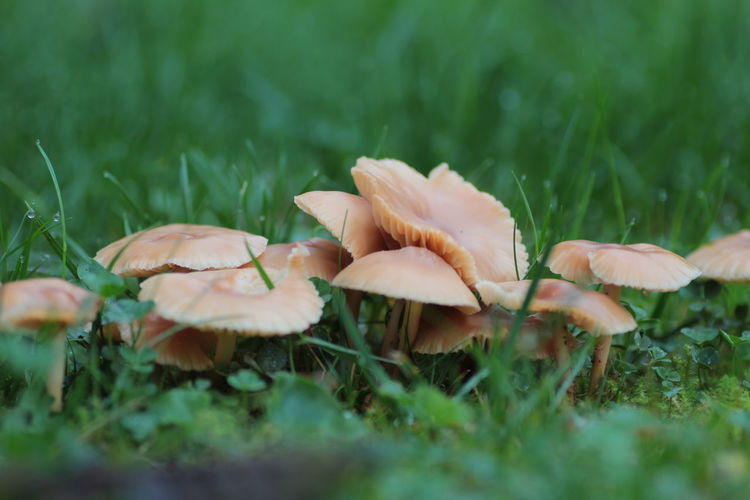 Mushrooms in the garden Growth Plant Selective Focus Vulnerability  Close-up Land Fragility Beauty In Nature Mushroom Freshness Field Nature Fungus Vegetable No People Day Grass Green Color Food Toadstool Outdoors Flower Head Surface Level