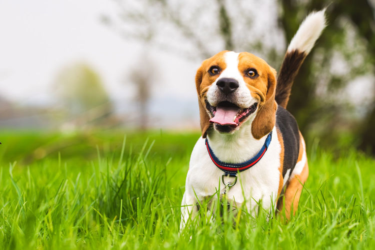 Beagle dog runs on a meadow with tongue out. canine background