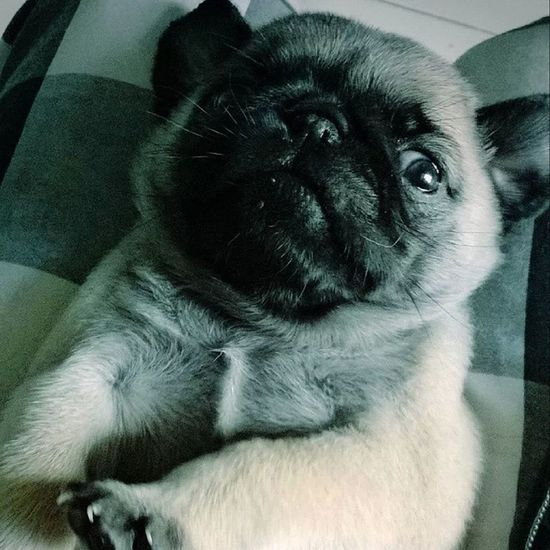 Cute Puggy Pugsofinstagram Puppy Pug Pet Boy Pet Followme