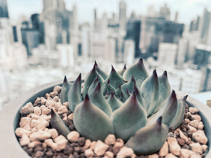 Close-up of succulent plant in city