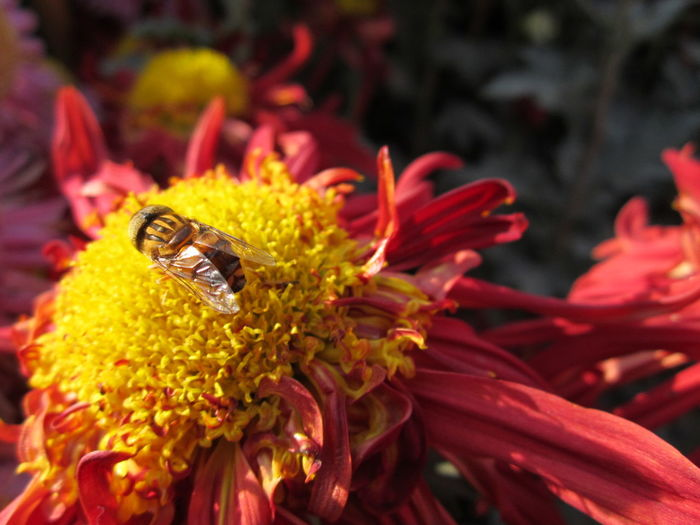 Close-Up Of Honey Bee On Flower