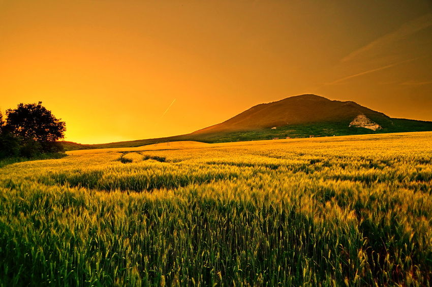 Orange colored sunset and the fields at Mount Pilis Wheat Beauty In Nature Crop  Day Field Grain Grass Green Color Landscape Mountain Nature No People Orange Color Outdoors Pilis Pilisszántó Plant Rural Scene Scenics Sky Summer Sunset Tranquil Scene Tree Yellow