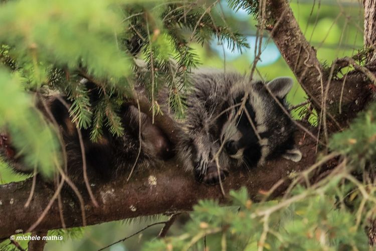 Sleeping Raccoon Close Up Raccoon Plant Animal Themes Animal Tree Growth One Animal Animal Wildlife No People Nature Animals In The Wild Day Green Color Close-up Outdoors Branch Beauty In Nature Selective Focus Vertebrate
