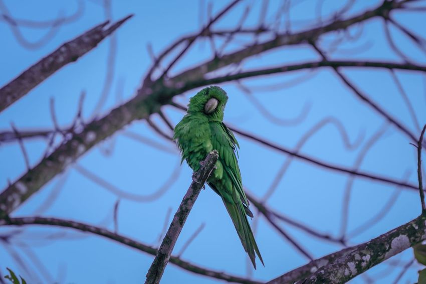 Nature Vibes | Parakeet Parakeet One Animal Animal Themes Animals In The Wild Green Color Animal Wildlife No People Day Tree Nature Focus On Foreground Branch Perching Outdoors Blue Bird Close-up Beauty In Nature Sky
