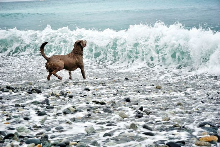 Brown dog standing on sea shore