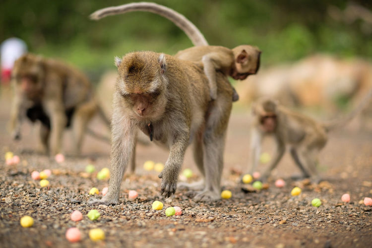 Monkey with dogs