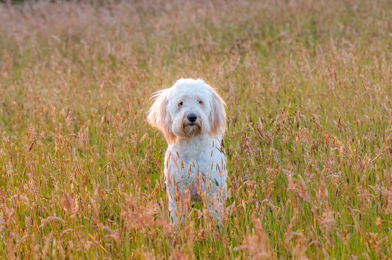 Portrait of goldendoodle standing on field