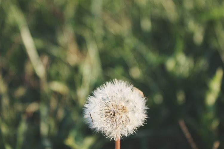 Close-up of dandelion at field