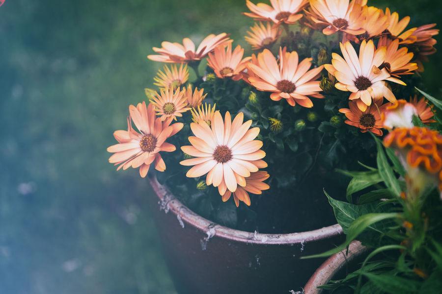 Garden Trädgården Taking Photos Enjoying Life FUJIFILM X-T1 XF50-140mm Flowerporn Vintage Blommor Filter EyeEm X WhiteWall: Landscapes