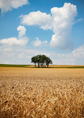 Lonely trees offering shadow on a bright sunny day. Agriculture Beauty In Nature Cereal Plant Cloud - Sky Crop  Crops In The Sun Environment Farm Field Growth Landscape No People Outdoors Plantation Rural Scene Tranquility Tree