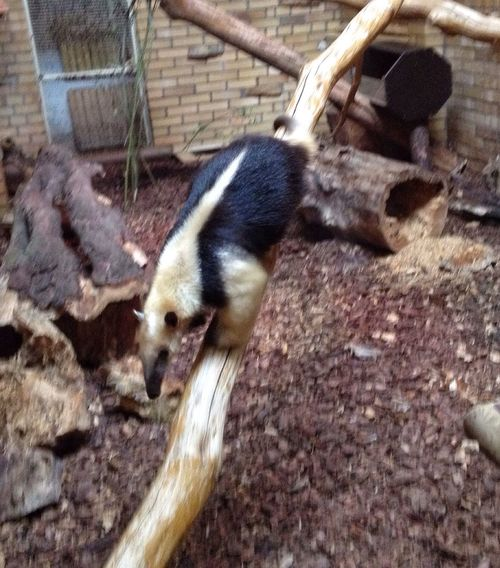 Animal Themes One Animal High Angle View Animals In The Wild Animal Wildlife Nature Close-up A Anteater