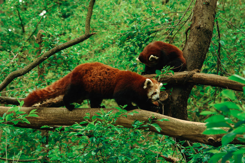 Red Pandas On Tree In Forest