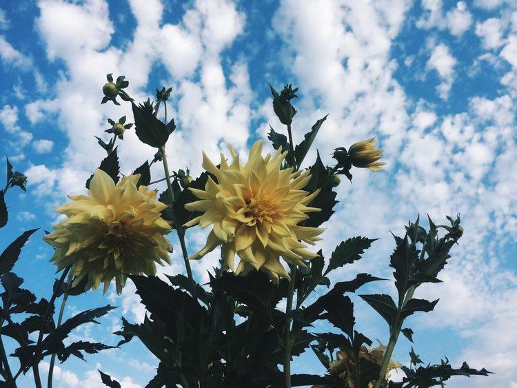 Flowers Blusky Yellow