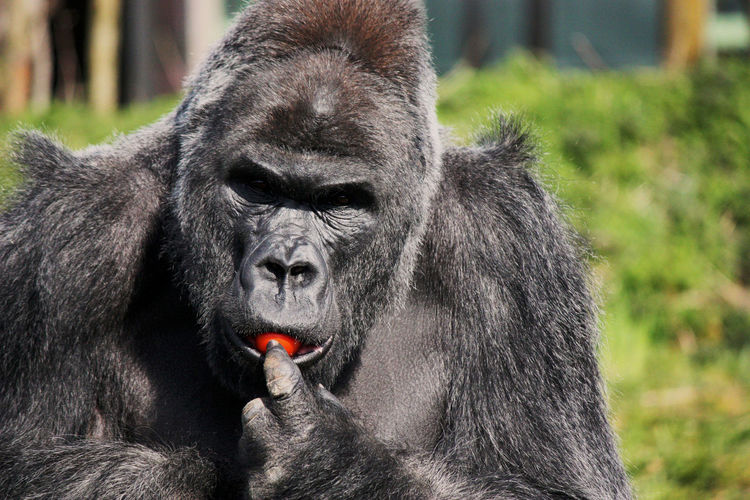 Portrait of male gorilla eating tomato at zoo