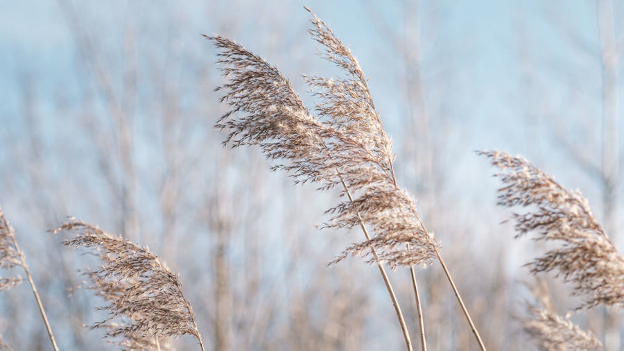 Pampas grass on the lake, reed layer, reed seeds. golden reeds on the lake sway in the wind