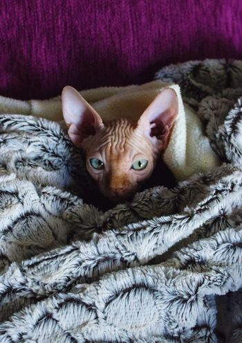 Domestic Cat One Animal Pets Domestic Animals Looking At Camera Animal Themes Indoors  Home Interior No People Mammal Feline Portrait Relaxation Close-up Day Getty Getty Images Istockphoto Getty X EyeEm Getty+EyeEm Collection