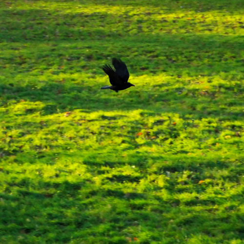 Animal Themes Animals In The Wild Bird Day Field Grass Green Color Growth In Flight Nature No People One Animal Outdoors Plant Wildlife