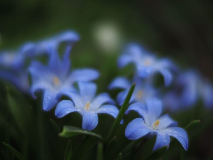 Blue... Blue Blue Flowers Blue Flower Flower Porn Flower Collection Flowers Flower Photography Flowers,Plants & Garden Flowerporn Flower Flowers, Nature And Beauty Shallow Depth Of Field Flowerlovers Nature On Your Doorstep Naturephotography Natural Beauty Nature Photography Nature Fine Art Photography