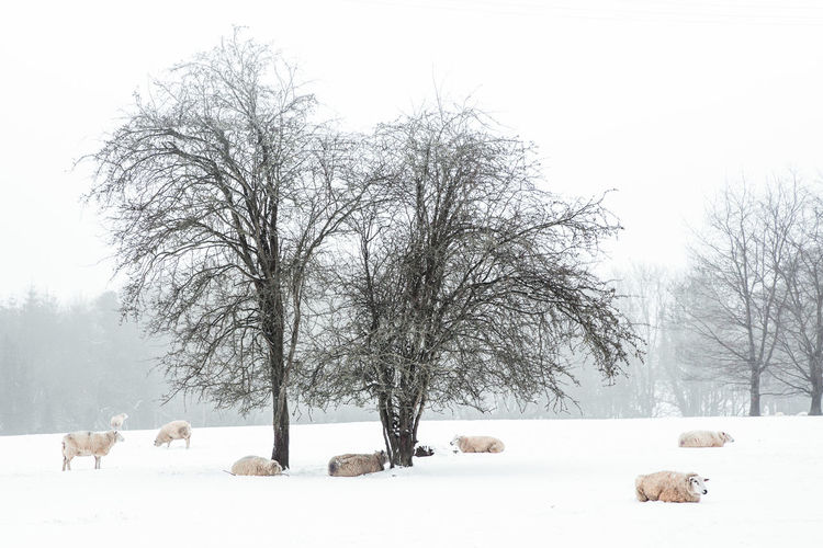 Sheep in a snow covered field in rural Oxfordshire Oxfordshire Countryside Rural Snow ❄ Bare Tree Bare Trees Bare Trees In Winter Beauty In Nature Cold Temperature Countryside Day Nature No People Outdoors Oxfordshire Rurual Scene Scenics Sheep Sheeps Sheep🐑 Sky Snow Snow Covered Tree Weather Winter