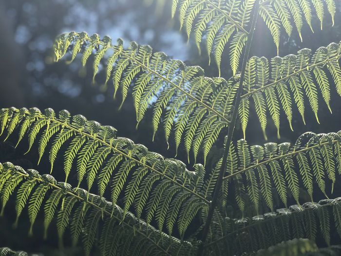 Fern close up afternoon sun Australia Growth Green Color Plant Leaf Plant Part Close-up Beauty In Nature Leaves Tranquility Focus On Foreground Low Angle View Nature Outdoors Natural Pattern Fern Tree Sunlight No People Pattern Day Natural Pattern Full Frame Tranquility Beauty In Nature Tree Backgrounds Green Color Growth Nature Plant