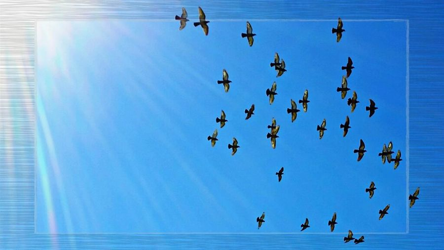 Taking Wing Bird Animals In The Wild Animal Themes Blue Flying Wildlife Flock Of Birds Togetherness Clear Sky Zoology Migrating Nature Blue Color Animal Behavior Tranquility Sky Flight Avian No People Power Line