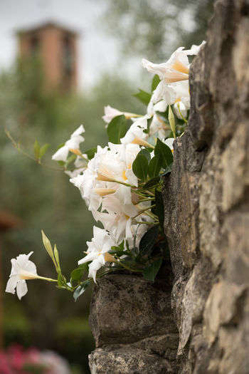 Beauty In Nature Blooming Focus On Foreground Fragility Growing On Rock Wall Nature No People Plant White Color