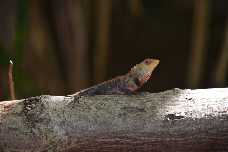 Bearded dragon on fallen tree trunk