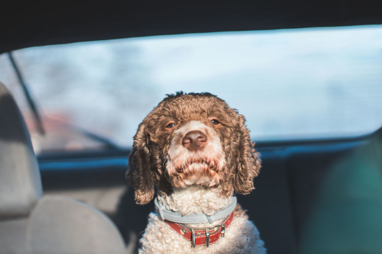 Portrait of a dog in car