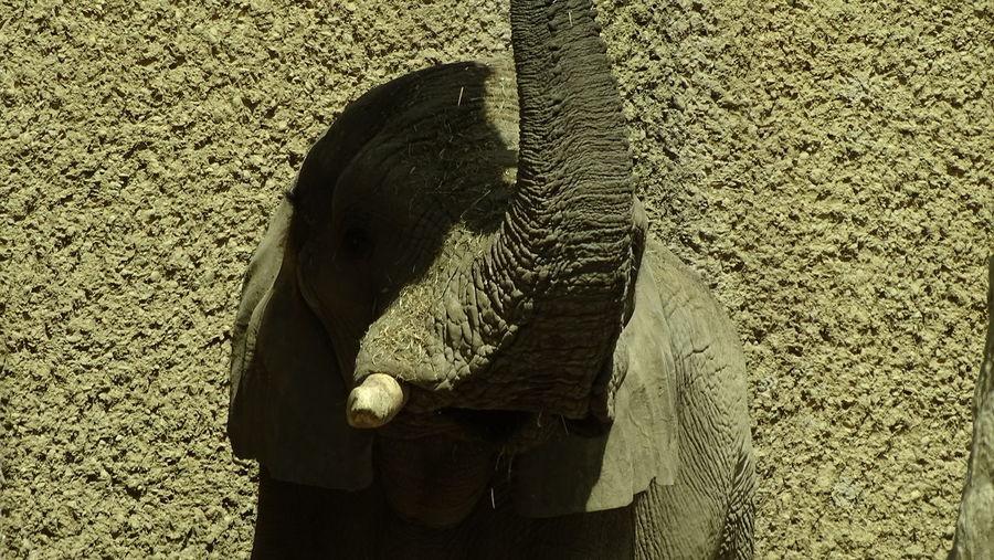 Animals In The Wild ZooLife Elephant Mammal Close-up One Animal